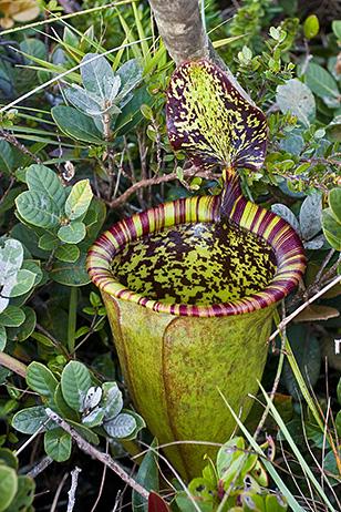 Attenboroughs pitcher plant